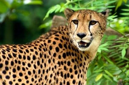 Cheetah picture
