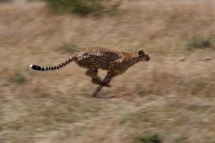 Picture of running cheetah