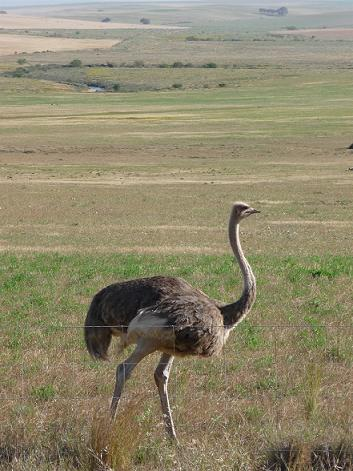 Picture of female ostrich