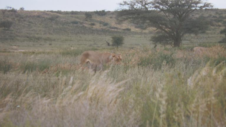 lion pictures in the bush