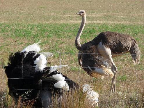 Picture of an ostrich lying down