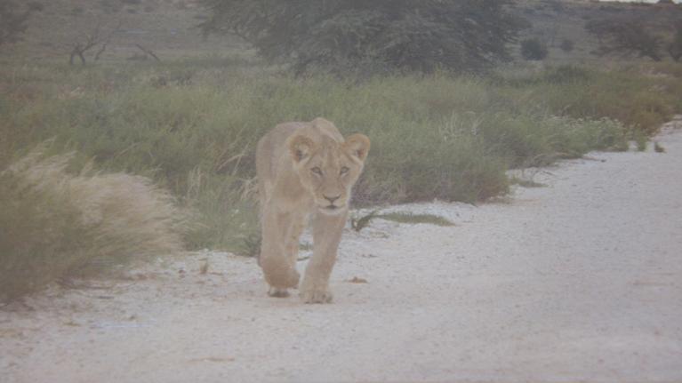Sweet lion cob