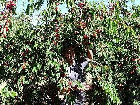 Cheap family vacation at Klondyke cherry farm