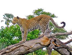 Leopard picture-Credit photo Edg 1