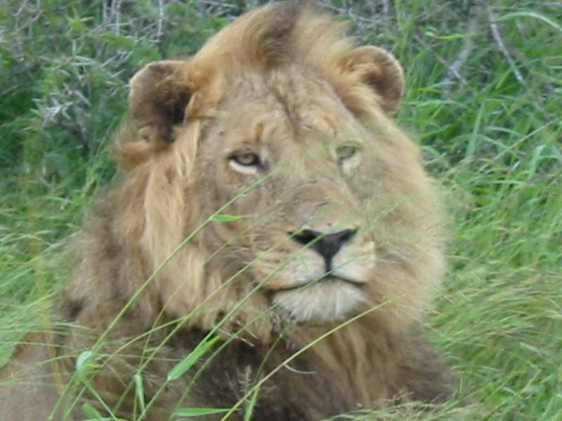 Lion Facts Get To Know More About The King Of Savanna