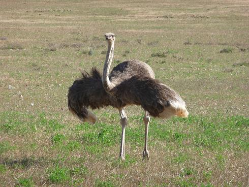 Picture of ostrich dance