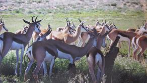 Springboks, Kalahari