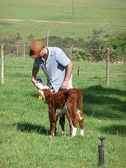 Danie feeding a veal