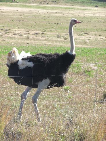 Picture of male ostrich