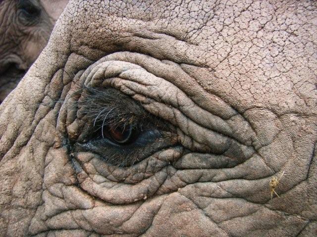 Elephant eye picture